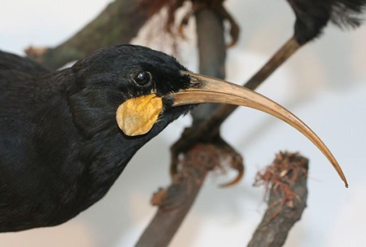 Female huia head